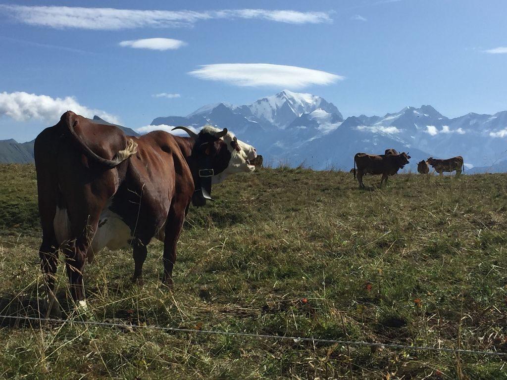 Vaches dans les Hautes-Alpes