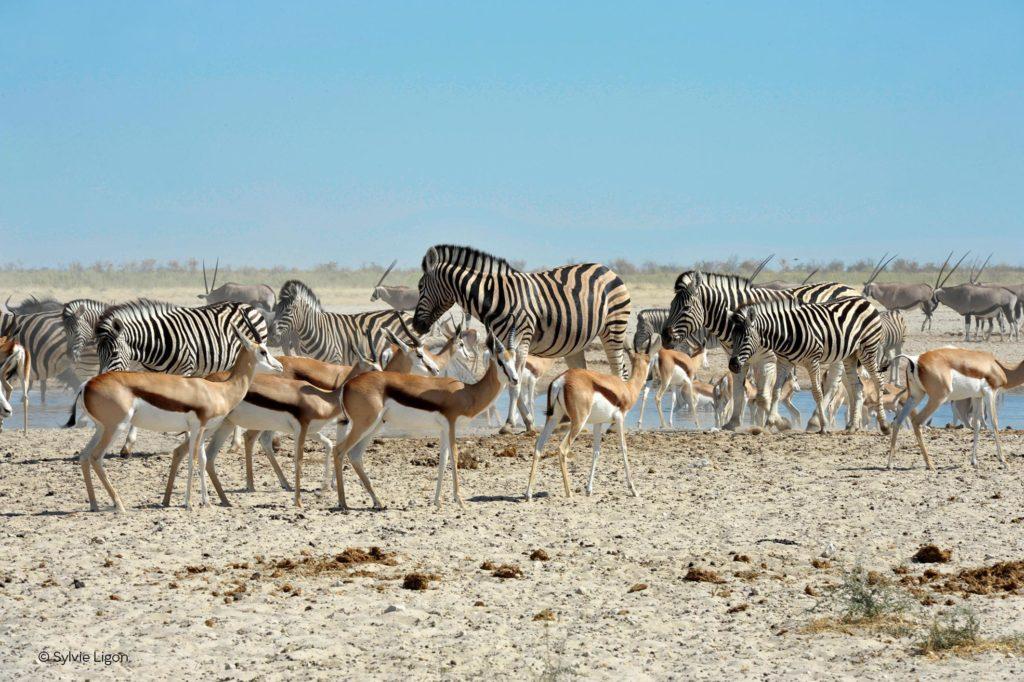 Antilopes et zèbres en Namibie