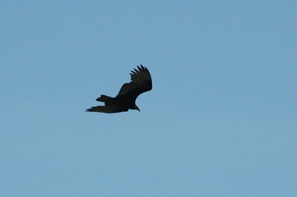 Envol d'un aigle dans le ciel