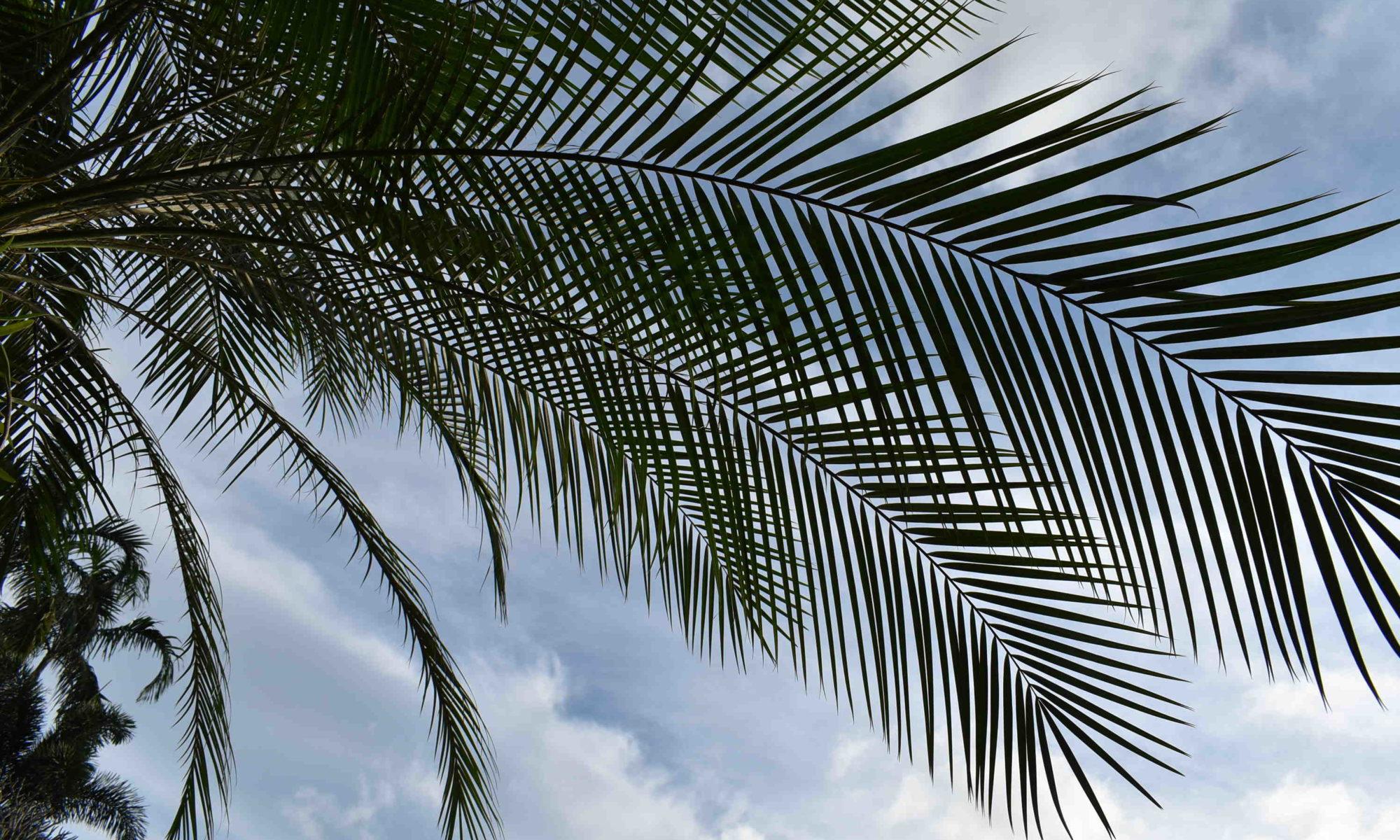 Palmier et noix de coco