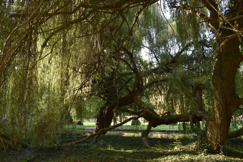 Saule dans le parc du Château du Saussay